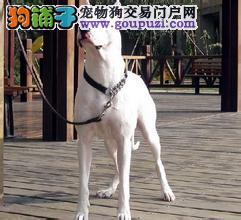 贵阳自家养殖纯种杜高犬低价出售优质服务终身售后