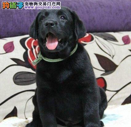 出售自家繁殖的高品质南京拉布拉多犬 驱虫已做完