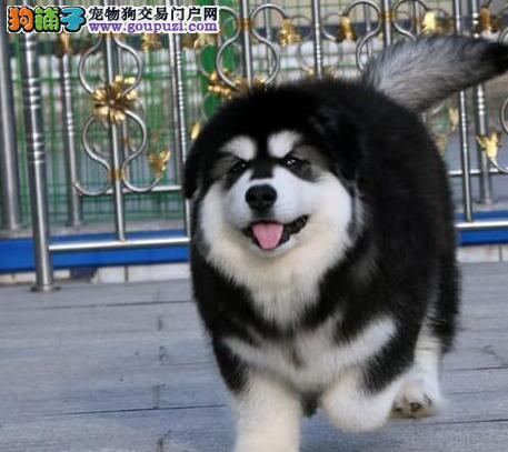 极品双十字阿拉斯加雪橇犬直销 福州周边可送上门