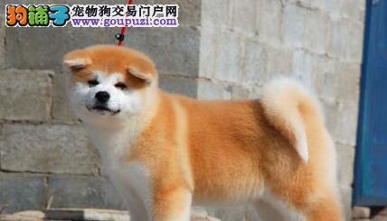日系血统的秋田犬低价出售 青岛的朋友可上门看狗
