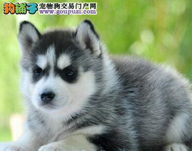杭州正规犬舍出售纯正血统的哈士奇幼犬 签订售后协议