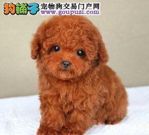 优惠促销茶杯体广州贵宾犬颜色齐全欢迎选购