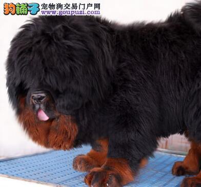 大狮头铁包金藏獒幼崽低价出售 兰州的朋友可上门看狗