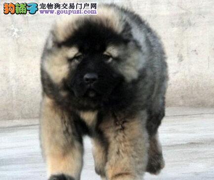 赛级熊版兰州高加索幼犬低价出售 专业繁殖 放心选购