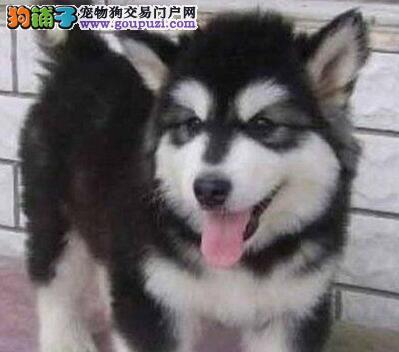 兰州正规犬舍直销纯种阿拉斯加犬 签健康协议 放心选购