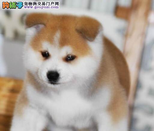 青岛感性忠诚的秋田犬 想找个好的归宿 抓紧时间哦