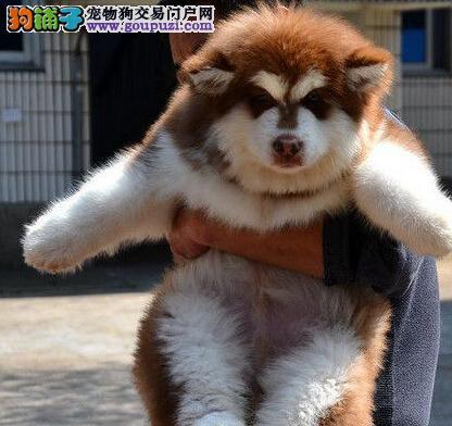 渝中有十字脸纯血统的阿拉斯加犬出售 可上门挑选