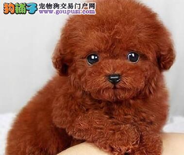 纯种韩系泰迪 银川犬舍本月畅销犬种 千万不要错过哦