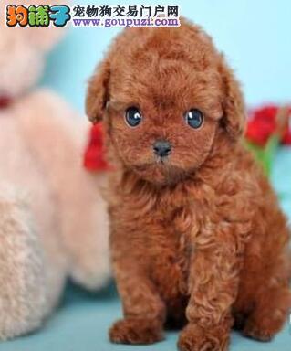 实体店出售武汉贵宾犬品相好保证质量签订协议
