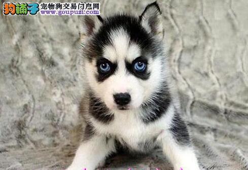 郑州正规犬舍出售哈士奇 蓝眼三把火包纯种