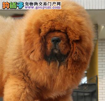 骨量粗纯种藏獒幼犬 焦作养殖基地火爆出售 极品大狮头