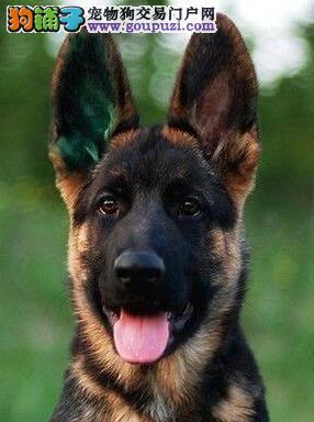 济南基地繁殖黑脸锤系德国牧羊犬 签订合法协议
