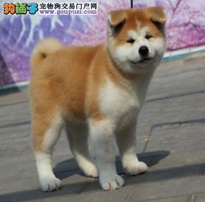 基地热销纯种青岛秋田犬 公母都有已驱虫欢迎视频看狗