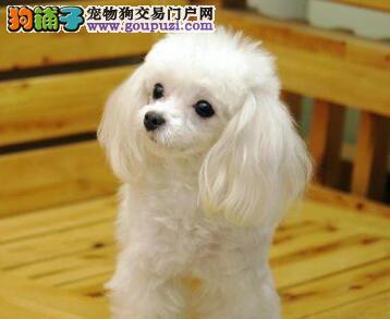 超可爱精品玩具贵宾犬宝宝泰迪幼犬低价热卖中
