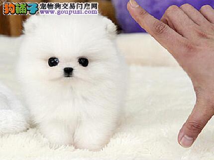 哈多利球版博美幼犬低价出售中 合肥市内可免费送货