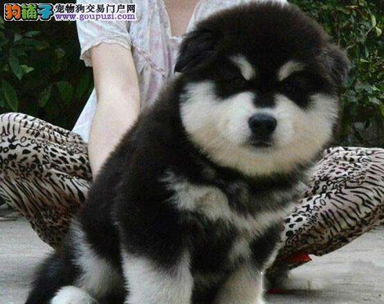 精品阿拉斯加雪橇犬直接出售 有意者可来渝中犬舍