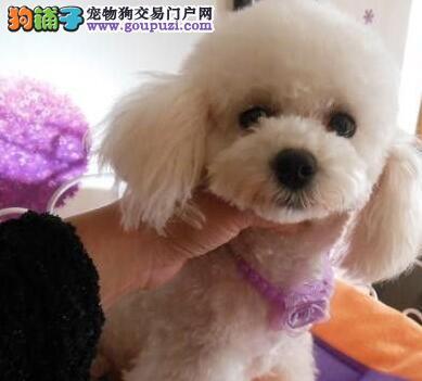 杭州本地狗场出售韩系贵宾犬 可签订售后协议书