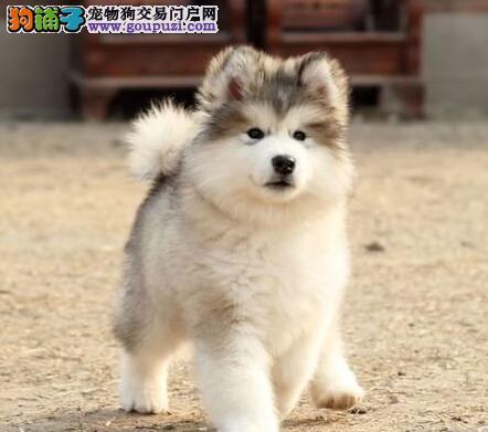 精品阿拉斯加雪橇犬 武汉正规养殖场出售 保健康签协议