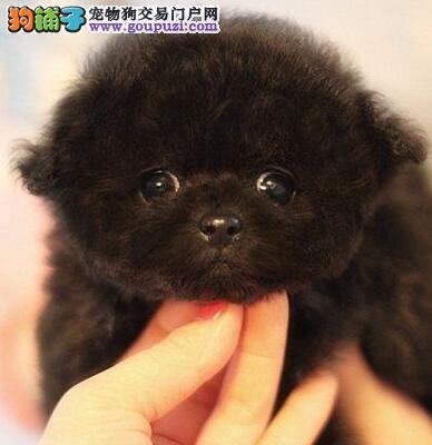 纯种健康的咖啡色杭州泰迪犬找新主人 毛量大体型小