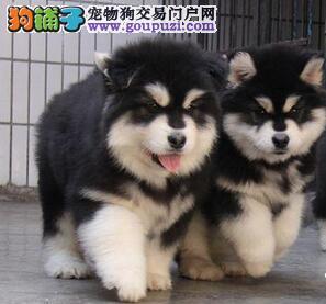 十字架桃脸郑州巨型阿拉斯加幼犬热卖 品相好骨量大