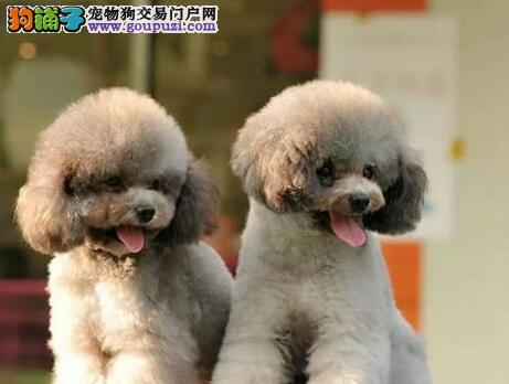 繁殖纯种高品质济南贵宾犬 可签售后合同 放心选购