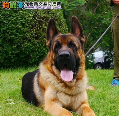 繁育顶尖锤系德国牧羊犬出售 济南市内免费送货