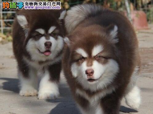 出售大骨量熊版济南阿拉斯加幼犬 2~4窝可以挑选