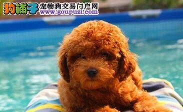 西安犬舍出售小体型贵宾犬 保纯保健康