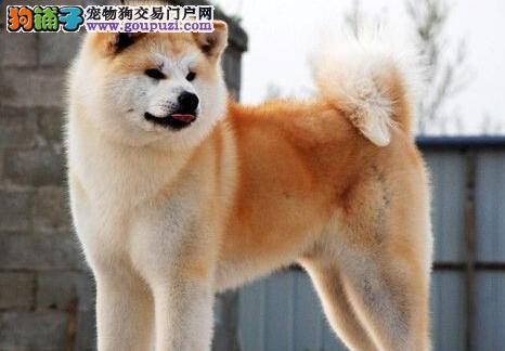 连云港出售秋田犬幼犬品质好有保障签订终身纯种健康协议