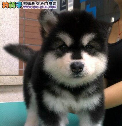 上海养殖犬舍出售纯种阿拉