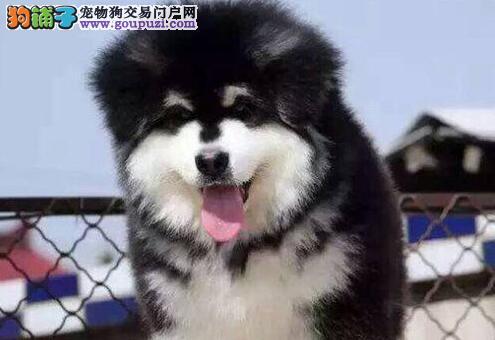 厦门养殖基地出售阿拉斯加犬 保证纯种健康 终身售后