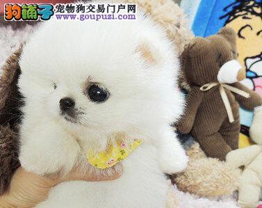 出售哈多利小体厦门博美犬 白色黄色均有 不要错过