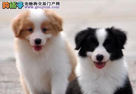 贵阳大型狗场特价热销纯种边境牧羊犬 品质有保障