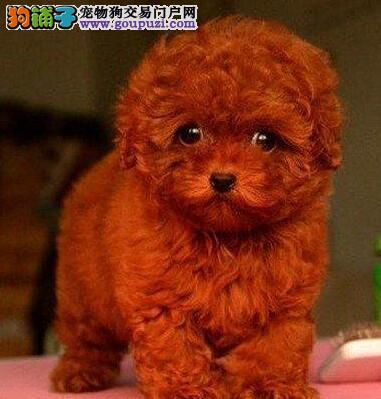南昌犬舍低价出售优秀泰迪犬 有血统证书和芯片保健康