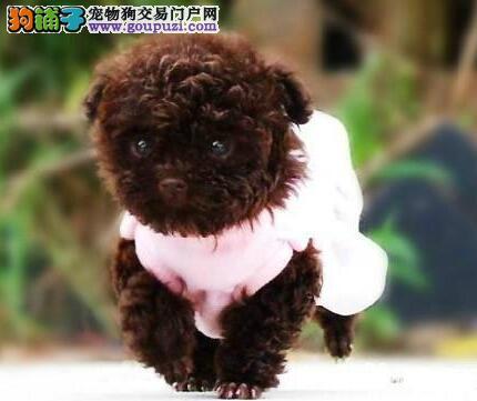 颜色全品相佳的泰迪犬纯种宝宝热卖中冠军级血统品质保障