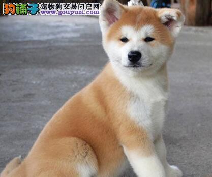 秋田犬聪明活泼帅气 公母都有保证健康 青岛狗场直销