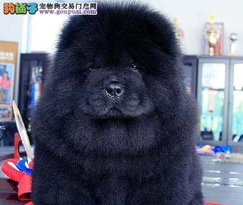 广州专业繁殖基地直销白色黑色红色松狮幼犬 非诚勿扰