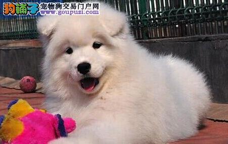 南京专业养殖场出售萨摩耶幼犬 雪白无杂毛 无体臭味