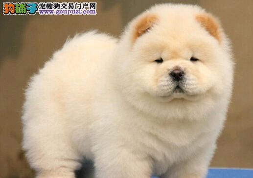 青岛CKU认证犬舍出售纯血统松狮幼犬 可签署协议