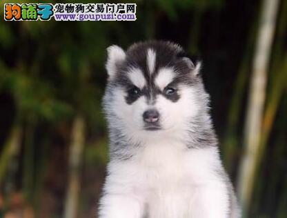 石家庄知名犬舍繁殖出售哈士奇幼犬 疫苗驱虫已做好