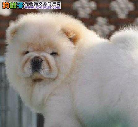济南实体店低价转让大嘴紫舌松狮犬 可视频可刷卡
