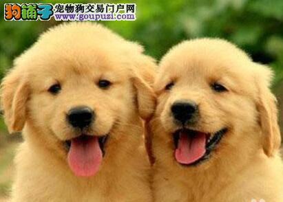 特价出售大骨架福州金毛犬 血统清楚可鉴定保证健康