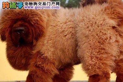 犬舍直销顶级纯种福州藏獒幼犬 正规獒园培育保证品质