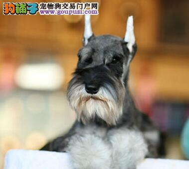 厦门大型狗场出售萌萌可爱的雪纳瑞 可随时视频看狗