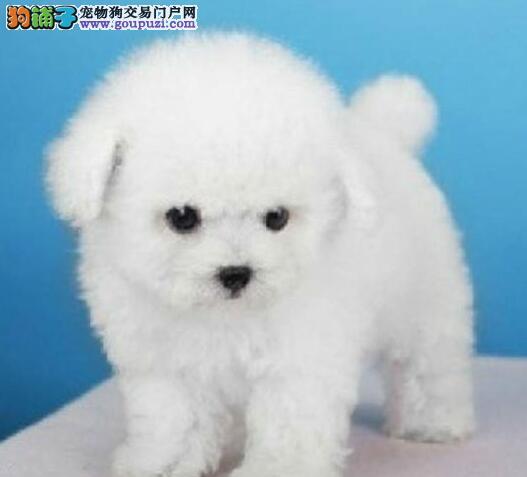 大型犬舍直销价格出售成都比熊犬 可送货可签订协议书