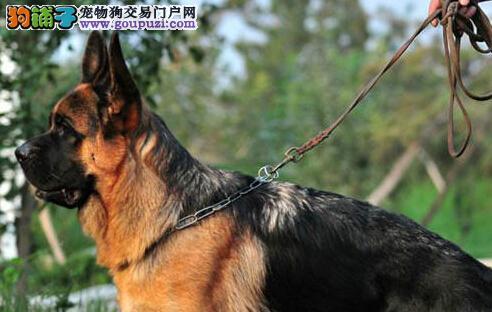 杭州大型狗场直销大头德国牧羊犬 有终身质保协议