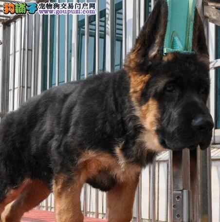 促销价格出售大头锤系德国牧羊犬 广州地区包邮