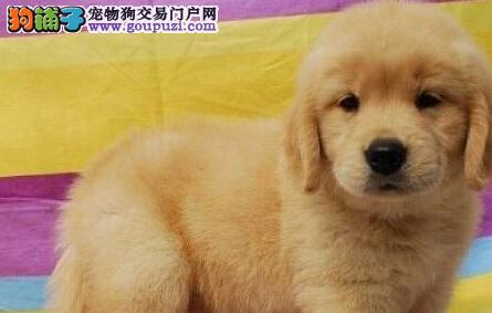 热销大骨架金毛犬成都狗场繁殖 可赠送狗笼子质量三包