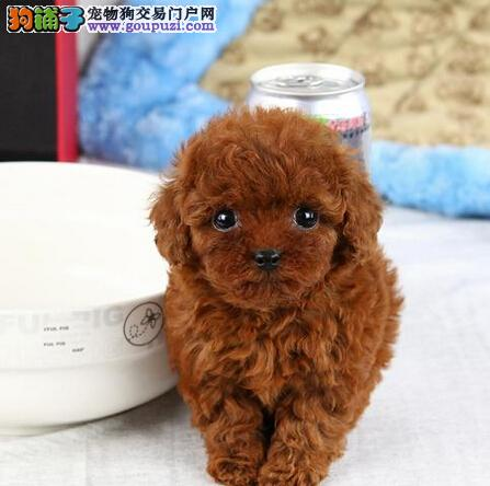 转让纯种韩系血统济南泰迪犬 可空运有售后保障