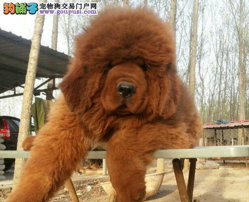 大狮头大骨架 吊嘴吊耳吊眼的广州藏獒幼崽低价出售